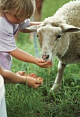 A girl feeding a sheep in a field