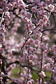 Sprigs of almond blossom