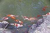 Japanese koi carp in water