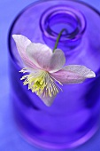 A clematis flower in a glass bottle
