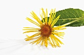An elecampane flower and one leaf