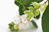 Snowberries on stalk with flowers