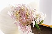 Pink and white hydrangea flower
