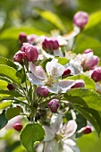 Apple blossom (close-up)