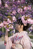 Japanese woman in kimono looking at cherry blossom