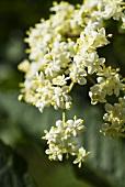 Elderflowers on the bush (close-up)