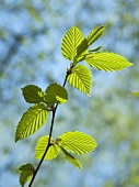 Young beech leaves on branch