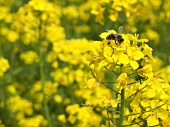 Oilseed rape flowers with bee
