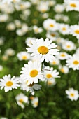 Marguerites in grass