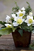 Vase of Christmas roses and juniper