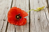 A poppy on a wooden background