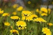 Field of flowering dandelions