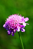 Field scabious in the open-air