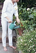Woman watering tomato plants in garden