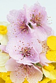 Spring flowers (pink cherry blossom, white & yellow narcissi)