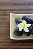 Frangipani flower (Plumeria) on black stones