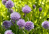 Flowering chives in the open air