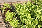 Several different salad plants in a salad bed