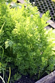 Several carrot plants in a vegetable bed