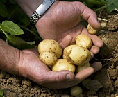 Man holding freshly harvested new potatoes in his hands