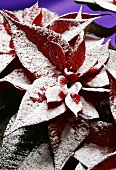 A red poinsettia with artificial snow