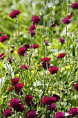 Pincushion flowers in a meadow