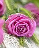 A pink rose (rosa aqua)