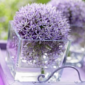 Ornamental onion flowers (allium)