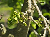 Unripe mulberries on a branc