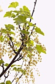 White currants on the cane