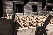 Picking potatoes, Sweden