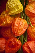 Physalis flowers