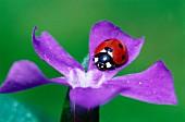 Ladybird on a petal