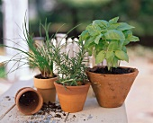 Assorted Herbs in Clay Pots