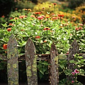 Zinnias Behind a Lichen Covered Fence