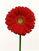A Red Daisy