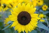 Close Up of a Sunflower Growing Outdoors