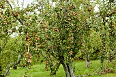 Apple Tree at Weston's Antique Apples
