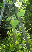 Cucumber Plant Growing Up a Ladder in a Garden