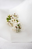 Sprig of White Spring Blossoms