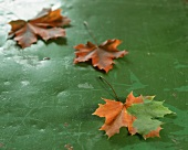 Oak leaves on a green surface