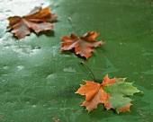 Ahornblätter auf grünem Untergrund