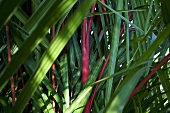 A thicket of red and green plam leaves