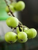 A sprig of green apples