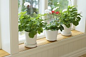 Plant pots with white and red geraniuns on a window seat with white wood panelling
