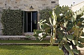 Prickly pear cactus in a garden and open terrace doors of a house with a natural stone facade