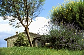 Mediterranean countryside with flowering bushes and a tree in front of a rustic building