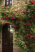Red climbing roses growing on the stone facade of a Mediterranean country home