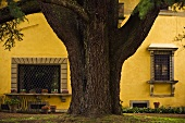 Majestic tree trunk in front of the yellow facade of a country home with barred windows