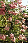 Blooming rose bush with pink flowers
